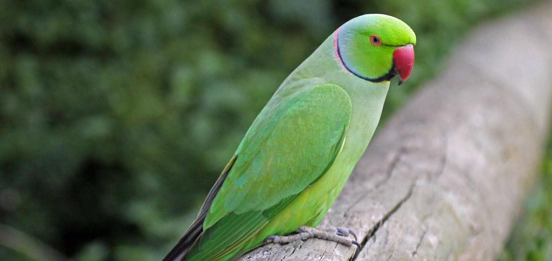 попугай1